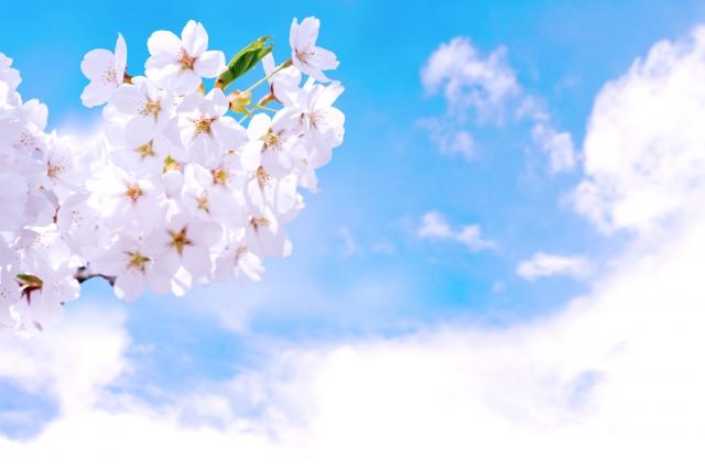 アフィリエイト 桜